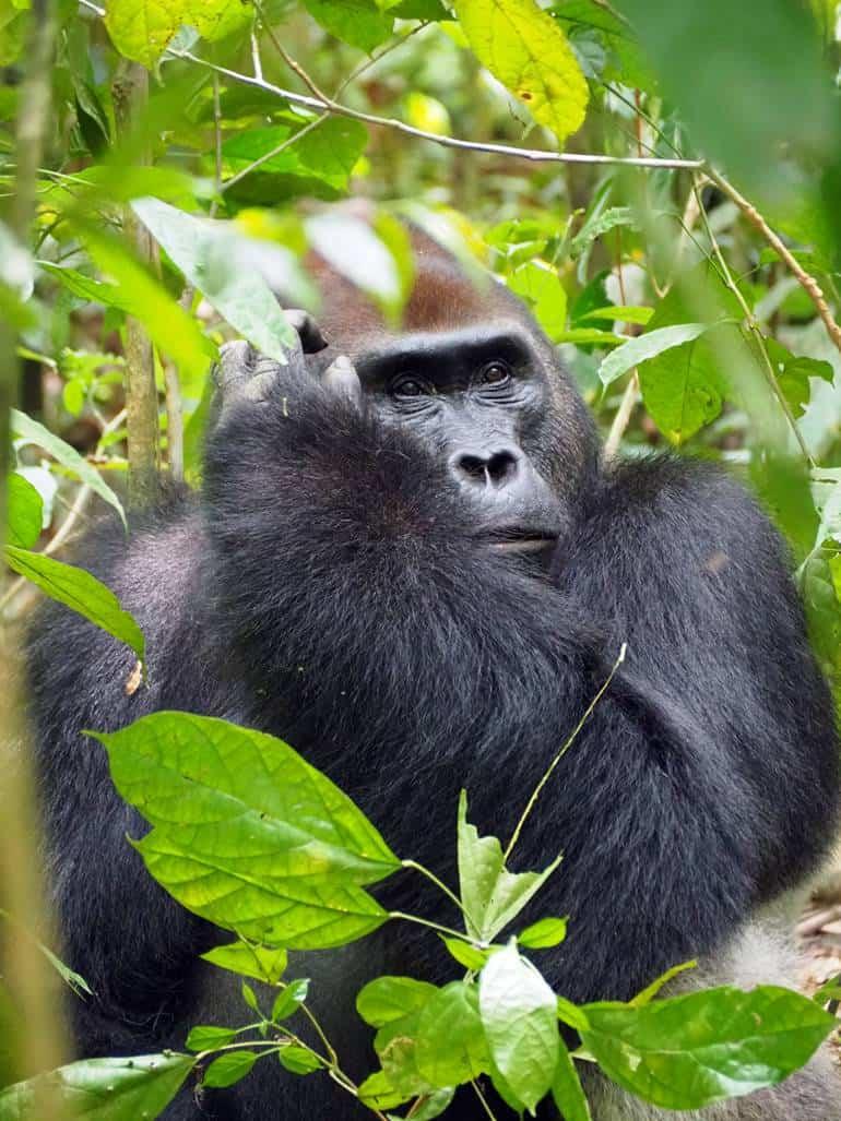 Gorillas in Dzanga Sangha