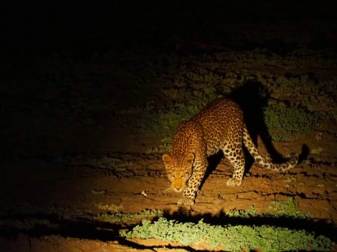 Leopard in Zakouma Chad