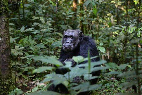 Chimpancés África Occidental