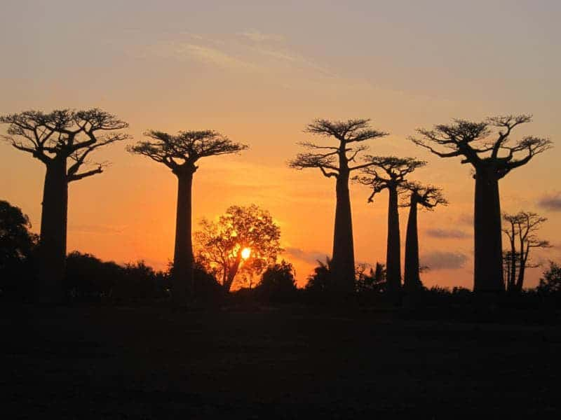 Leyendas y mitos Baobab, África