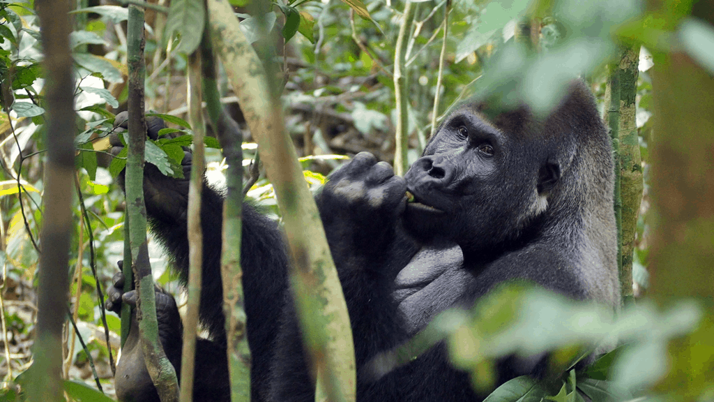 where to see gorillas in Africa