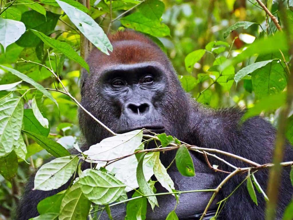 Gorillas Dzanga Sangha