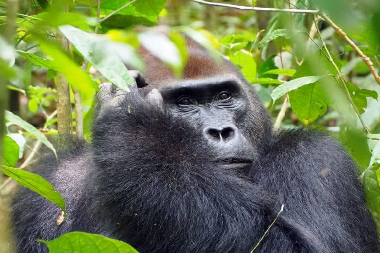 Best place to see gorillas in Africa